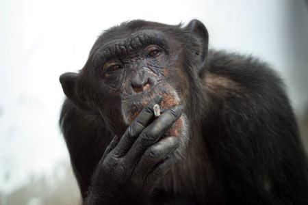Курящая обезьяна